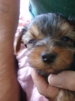 9 week old purebred miniture yorkie
