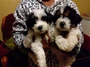Purebred pedigree minature poodle puppies
