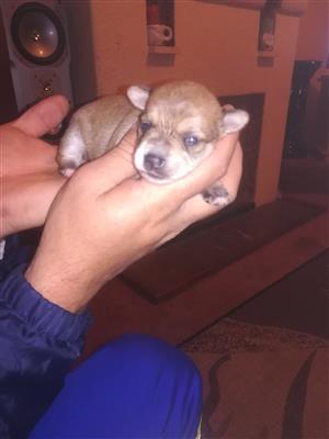 Miniature Maltese poodle x Yorkshire Terrier