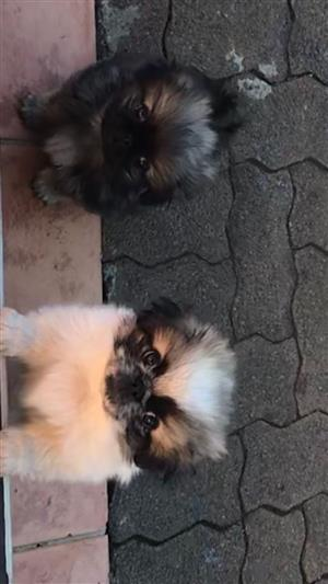 Beautiful Male Pekingese Puppies