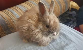 Bunnies, Dwerg Hasies, Dwarf Rabbits, Hase, Pretoria