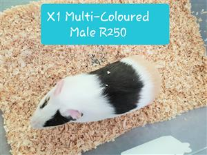 Guinea Pigs For Sale! Long Haired & Short Haired Breeds