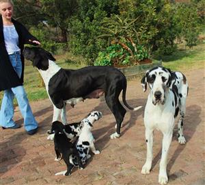 Great Dane Pups for sale parents Register by Kusa..