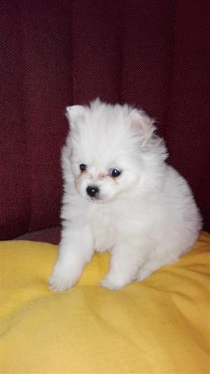 White female toy pom puppy for sale