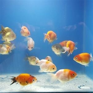 Fancy Ranchu Goldfish