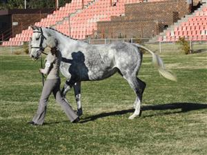 Excellent Showjumping TB Mare for sale:
