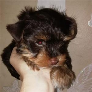 Dark Chocolate Yorkie Female