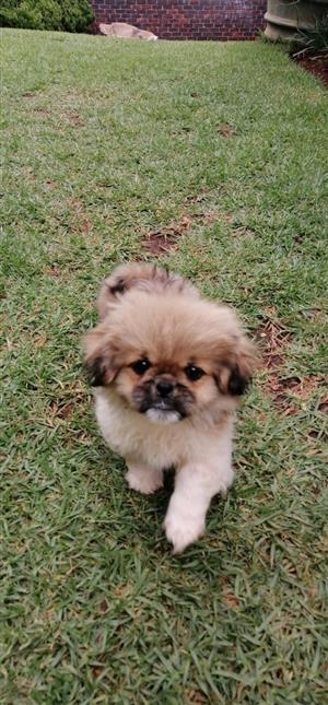 Adorable Pekingnese Pups