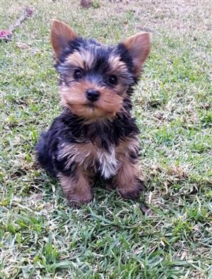 Female Pocket size Traditional Yorkie puppy