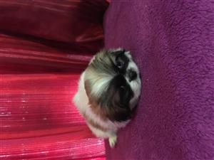 Cutest Pekingese Puppies