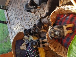 *Gorgeous*Thorough Bred* German Shepherd Puppies*
