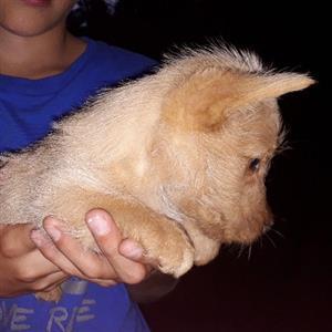 Weaton Scottish Terrier Puppies