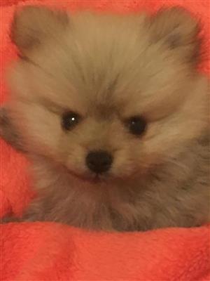 Pomeranian toy pom puppies miniature