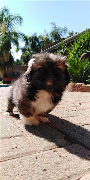Pikengese Puppies -4 Male