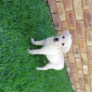 Labrador Retriever Golden