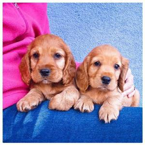 Purebred Spaniel Pups