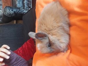Dwarf Angora Bunnies (Jersey Woolly)