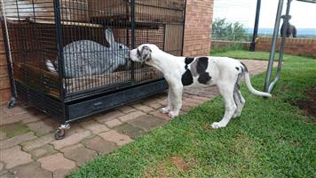 German bloodline Great Dane puppies for sale