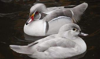 Ducks : Silver Wood Ducks