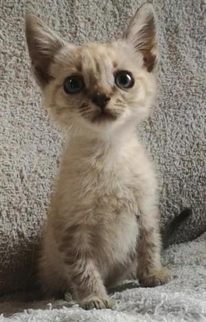 Beautiful female kitten for sale