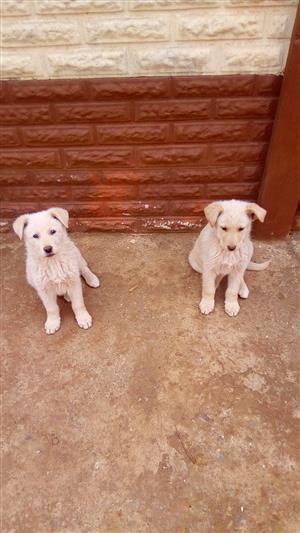 German Shepard puppies 12 Weeks old