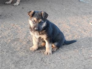 German shephard: puppies for sale