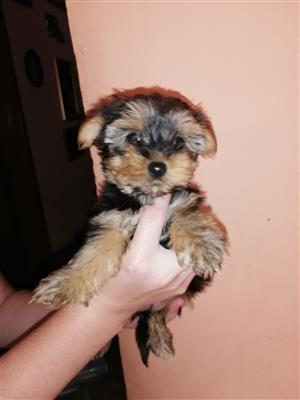 Small yorkshire terriers