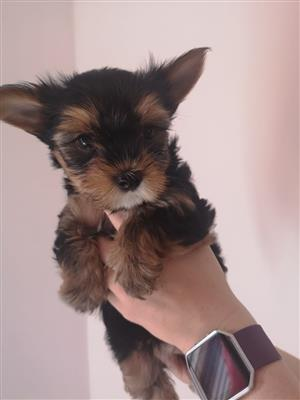 Registered Yorkies
