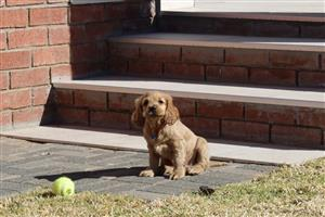 Golden Cocker Spaniel Female Puppy For Sale