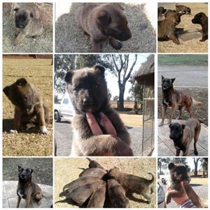 Pure breed Malinois puppies