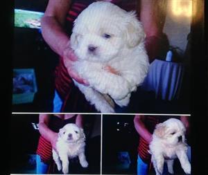 Beautiful purebred pekinese puppies for sale