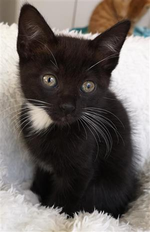 Garnet - a gem of a kitten! Adopt responsibly from a registered rescue group!