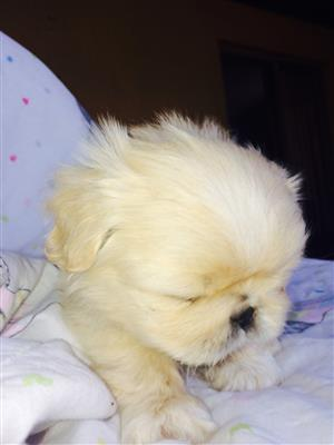 Puppies Pekingese