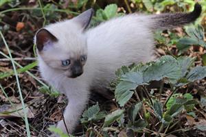 1x Male Tonkinese kitten for sale
