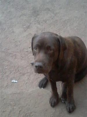 Black and Brown Labrador for sale