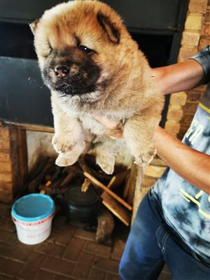 Chow Chow In Dogs And Puppies In Pretoria Junk Mail