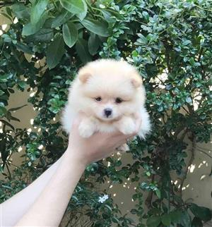 Small Pomeranian puppies