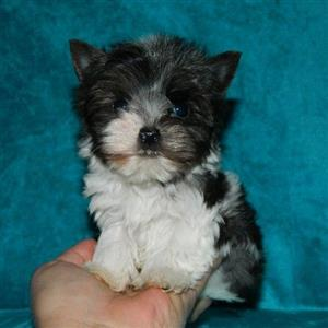Tiny Blueberry Yorkshire Terrier male puppy