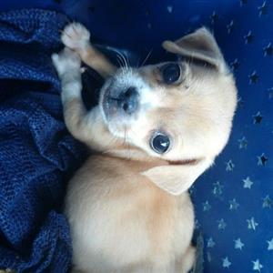 chihuahua cross pup
