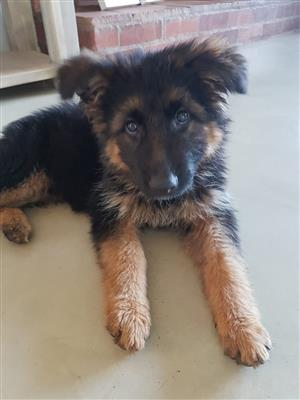 Magnificently bred German Shepherd Puppies