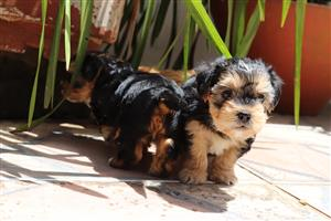 Beautiful miniature yorkie puppies for sale