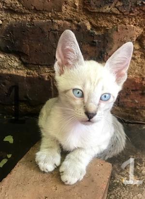 Siamese Thai Kittens