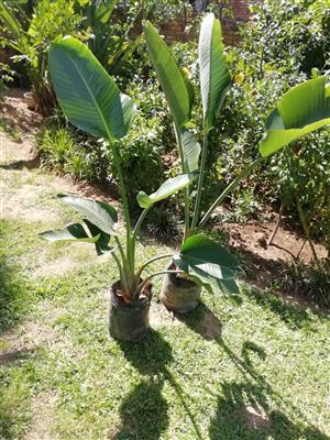 White strelitzia Reginae plants