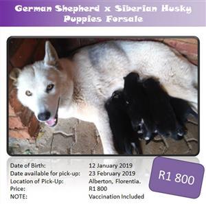 German Shepherd x Siberian Husky Puppies