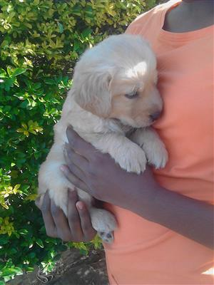 purebred  retriever female puppy