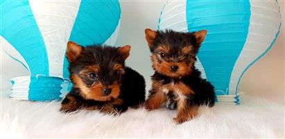 Yorkshire terrier boys