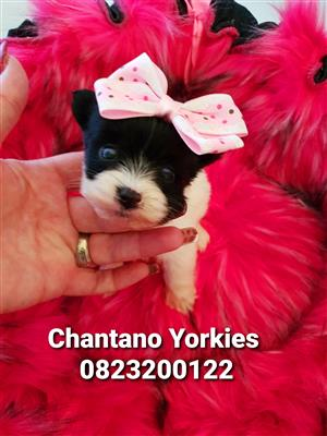 Teacup Biewer Yorkshire Terrier girl