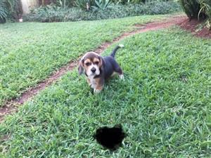 Tri Color Beagle