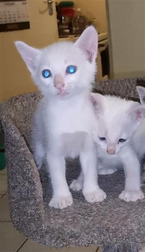 Beautiful 2x White Siamese Kittens for sale
