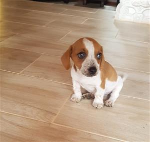 Short leg jack russell  puppy